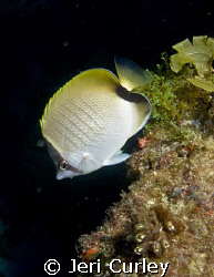 Butterflyfish seemed to be more abundant than usual on th... by Jeri Curley 